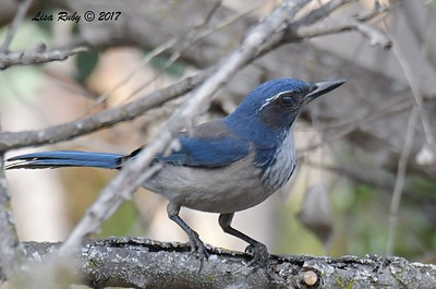 California Scrub Jay - 11/3/2017 - Trail to Poway Pond