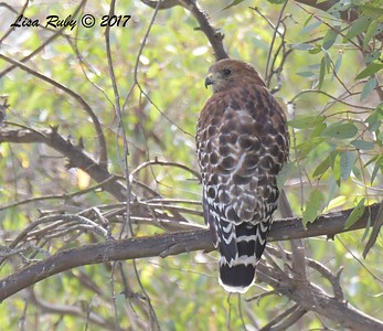 Red-shouldered Hawk - 11/3/2017 - Poway Pond