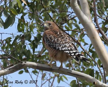 Red-shouldered Hawk - 11/3/2017 - Poway Pond