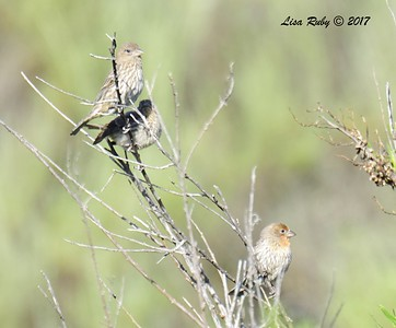 House Finches (adults and juvenile) - 5/14/2017 - Sabre Springs