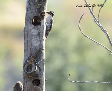 Nuttall's Woodpecker(look in lowest hole for juvenile) - 5/14/2017 - Springhurst Drive