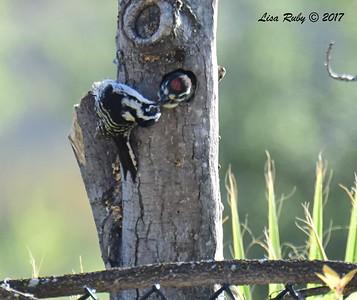 Nuttall's Woodpeckers - 5/14/2017 - Springhurst Drive