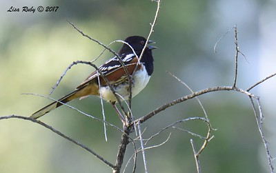 Spotted Towhee - 5/20/2017  - Creek, Sabre Springs