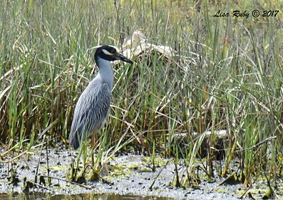 Yellow-crowned Night Heron  - 7/2/2017 - Famosa Slough
