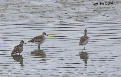 Willets in breeding plumage - 7/2/2017 - San Diego River Estuary