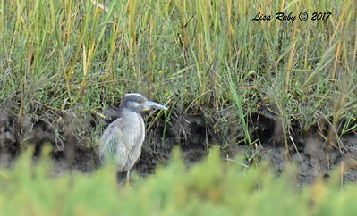 Sub-adult Yellow-crowned Night Heron - 7/2/2017 - Famosa Slough