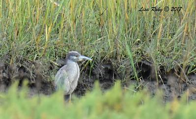 Sub-adult Yellow-crowned Night Heron - 7/2/2017 - Famosa Slough