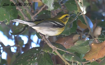 Townsend's Warbler - 11/22/2017 - San Diego River Mission Valley