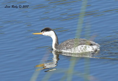 Clark's Grebe - 11/22/2017 - San Diego River Mission Valley