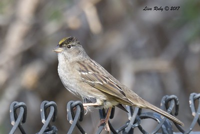 Goldencrowned Sparrow  - 12/22/2017 - South Creek Park, Sabre Springs