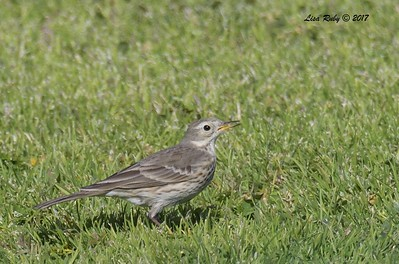 American Pipit  - 12/22/2017 - South Creek Park, Sabre Springs
