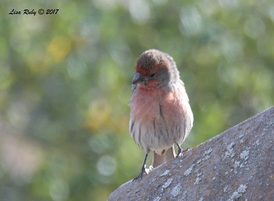House FInch  - 12/22/2017 - South Creek Park, Sabre Springs