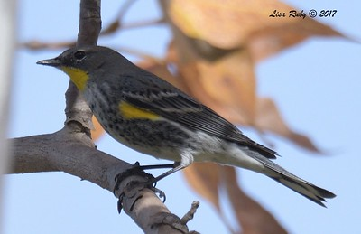 Yellow-rumped Warbler  - 12/22/2017 - South Creek Park, Sabre Springs