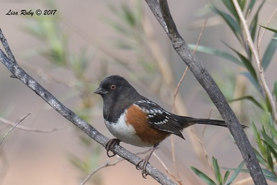 Spotted Towhee  - 12/22/2017 - South Creek Park, Sabre Springs
