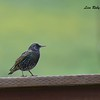 European Starling - 2/26/2017 - Sycamore Canyon Road