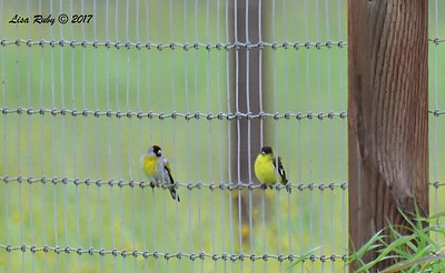 Male Lawrence's (left) and Lesser Goldfinch (right) - 2/26/2017 - Sycamore Canyon Rd.
