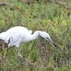 Juvenile Little Blue Heron - 1/15/2017- Tijuana River Valley Estuary Preserve