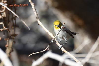 Verdin working on nest  - 4/14/2018 - Agua Caliente County Park Campground