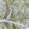 Chipping Sparrow - 4/15/2018 - Agua Caliente County Park Campground
