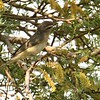 Warbling Vireo - 4/15/2018 - Agua Caliente County Park Campground