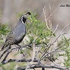 California Quail  - 4/15/2018 - Agua Caliente County Park Nature Trail