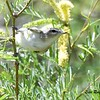 Warbling Vireo - 4/15/2018 - Agua Caliente County Park Nature Trail