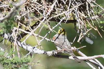 Verdin Feeding Nestlings - 4/14/2018 - Agua Caliente County Park Campground