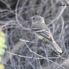 Gray Flycatcher - 4/15/2018 - Agua Caliente County Park Marsh Trail