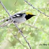 Hermit Warbler - 4/14/2018 - Agua Caliente County Park Nature Trail