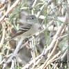 Hammond's Flycatcher - 4/16/2016 - Agua Caliente County Park Campground