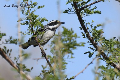 Black-throated Gray Warbler  - 4/14/2018 - Agua Caliente County Park Campground