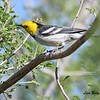 Hermit Warbler - 4/14/2018 - Agua Caliente County Park Campground