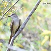 Ash-throated Flycatcher  - 4/15/2018 - Agua Caliente County Park Marsh Trail