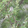 Warbling Vireo - 4/16/2016 - Agua Caliente County Park Nature Trail