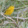 Yellow Warbler - 4/15/2018 - Agua Caliente County Park Campground