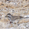 Black-throated Sparrow - 2/17/2018 - Anza Borrego Desert State Park Visitor's Center