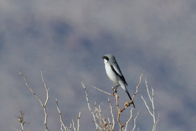 Loggerhead Shrike  - 2/17/2018 - Borrego Springs Water Treatement Settling Ponds