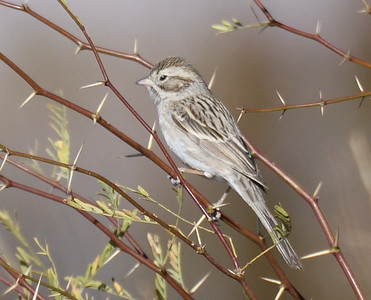 Brewer's Sparrow  - 2/17/2018 - Borrego Springs Water Treatement Settling Ponds