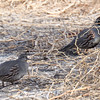 California or Gambel's Quail (or Hybrids)  - 2/17/2018 - Borrego Springs Water Treatement Settling Ponds