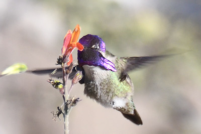 Costa's Hummingbird - 2/17/2018 - Anza Borrego Desert State Park Visitor's Center