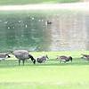 3 Cackling Geese, American Wigeon, Canada Goose - 2/17/2018 - Borrego Springs Roadrunner Club