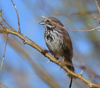 Song Sparrow - 2/17/2018 - Borrego Springs Water Treatement Settling Ponds