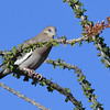 White-winged Dove - 2/17/2018 - Anza Borrego Desert State Park Visitor's Center