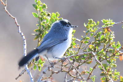 Black-tailed Gnatcatcher - 2/17/2018 - Anza Borrego Desert State Park Visitor's Center