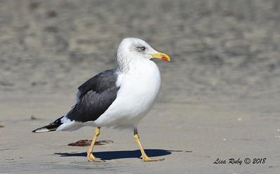 Lesser Black-backed Gull - 12/07/2018 - Hotel Del Coronado Beach