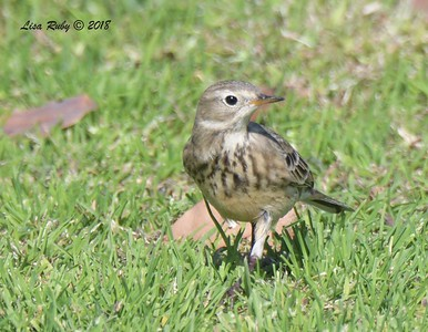 American Pipit - 11/8/2018 - Crown Point Park