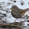 Fox Sparrow - 1/7/2018 - Dos Picos County Park