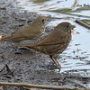 Hermit Thrush and Fox Sparrow - 1/7/2018 - Dos Picos County Park