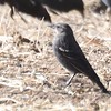 Tricolored Blackbird  - 1/7/2018 - Rangeland Road, Ramona