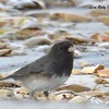 Slate-colored Dark-eyed Junco  - 1/7/2018 - Dos Picos County Park